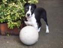 Rosie Border Collie Pup