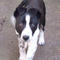 Rosie Short Haired Border Collie Puppy